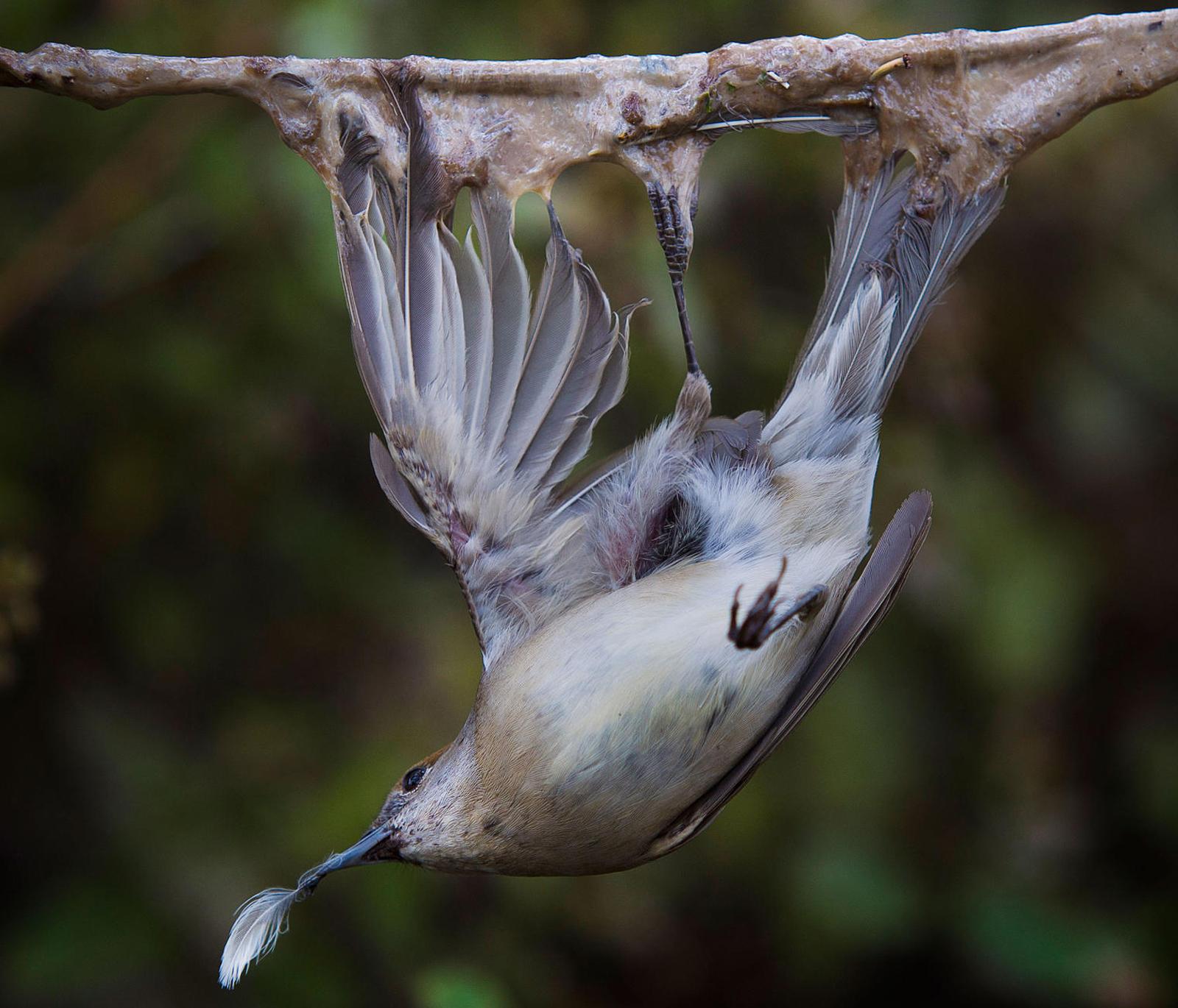 Blackcap_illegal trapping © Birdlife Europe - Flight for Survival.jpg