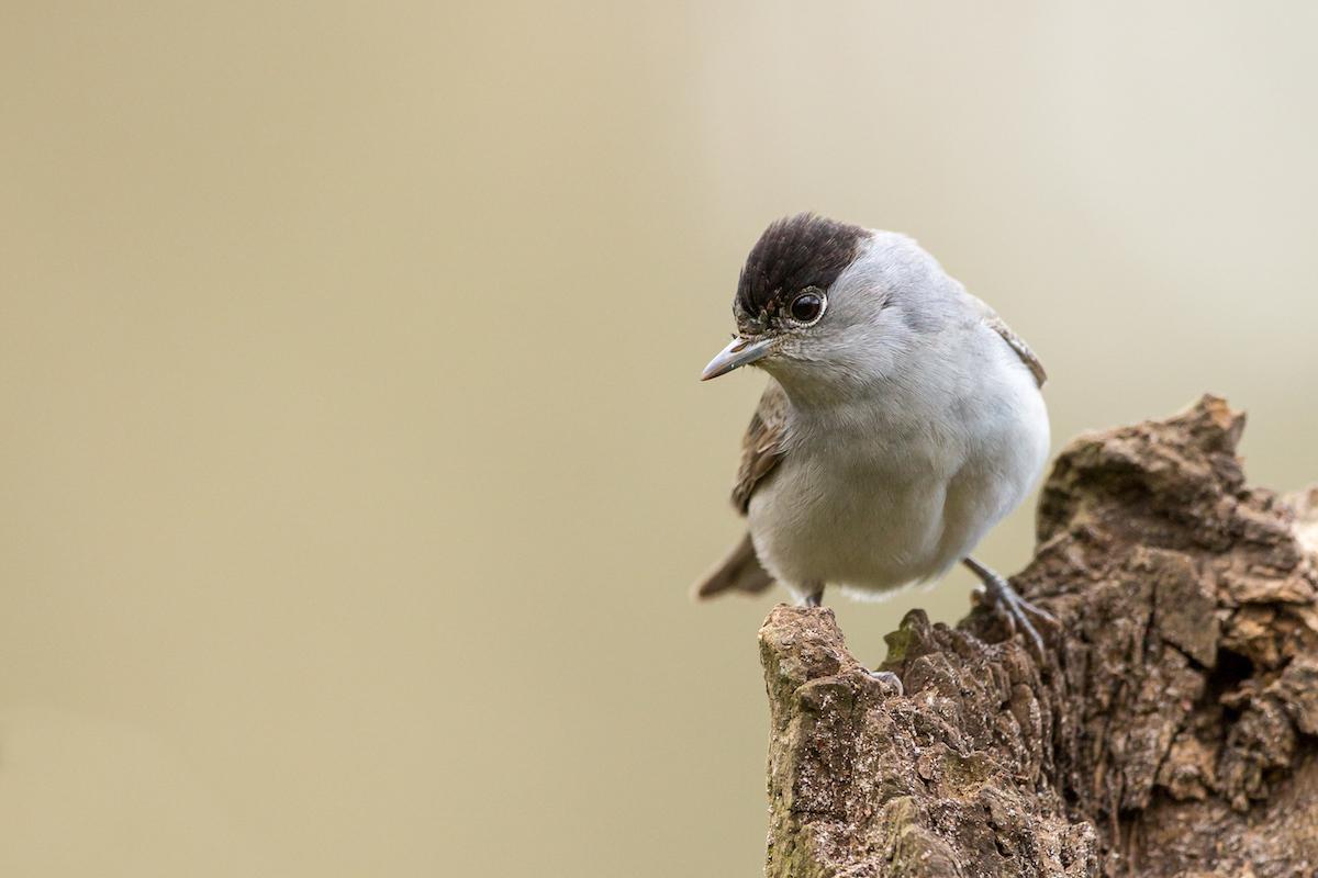 Blackcap_website slider 2 © Birdlife Europe - Flight for Survival