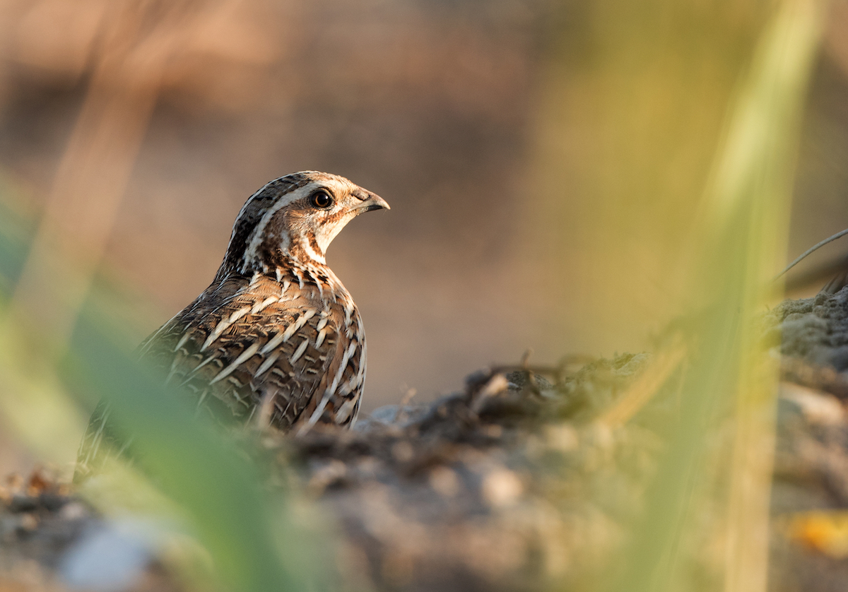Common quail_website slider 1 © Birdlife Europe - Flight for Survival