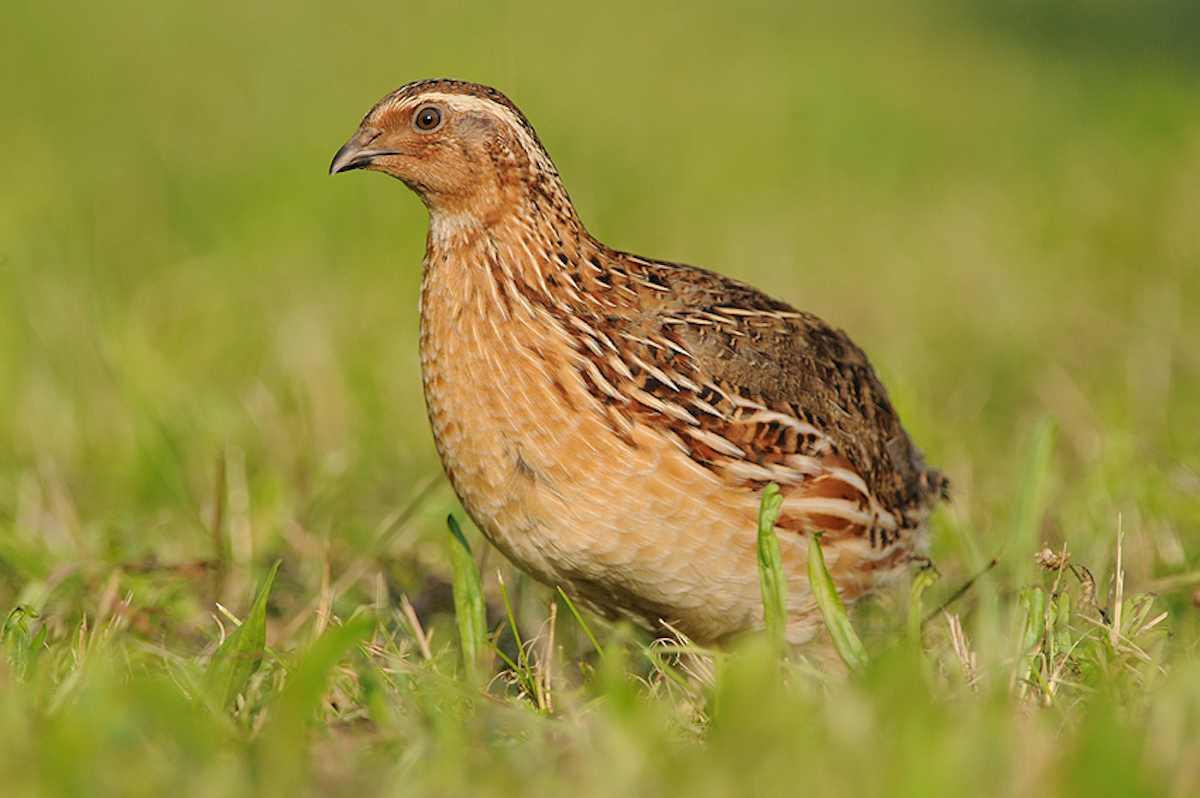 Commonquail_CC BY-NC-ND 2.0_JanSvetlik (2)