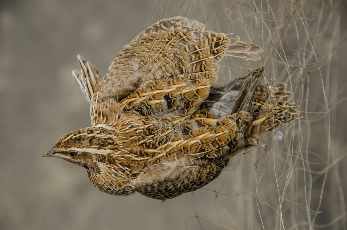 Commonquail_NCE_Watter-AlBahry (10)