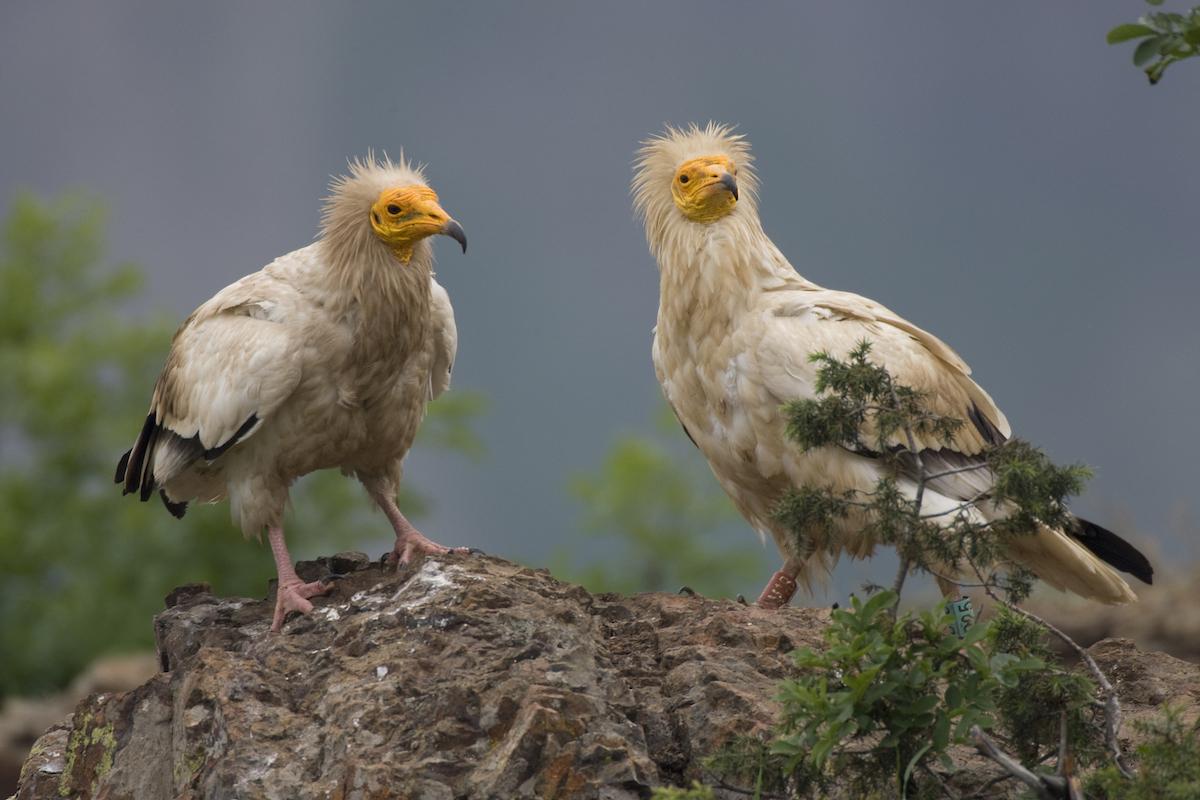 Egyptian Vultures_Franz Robiller