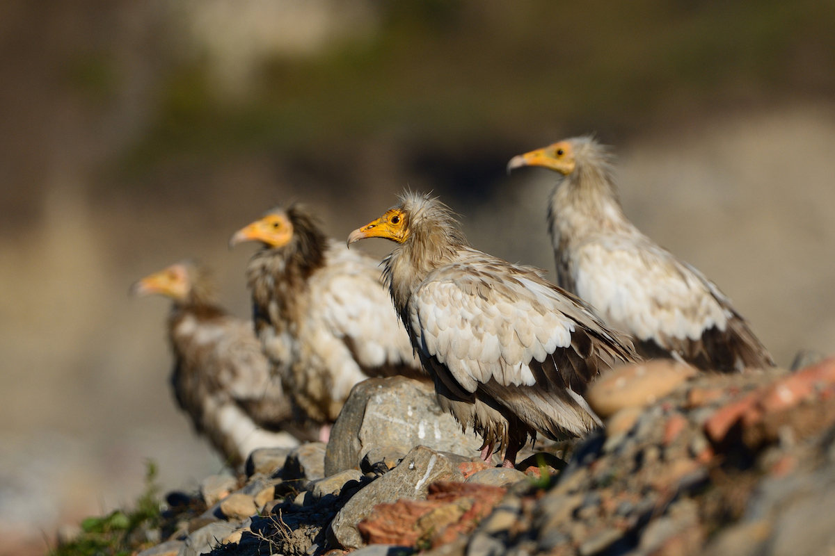 Egyptian vulture_BSPB
