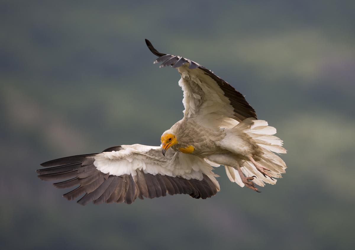 Egyptian vulture_BSPB_Bogdan_Boev