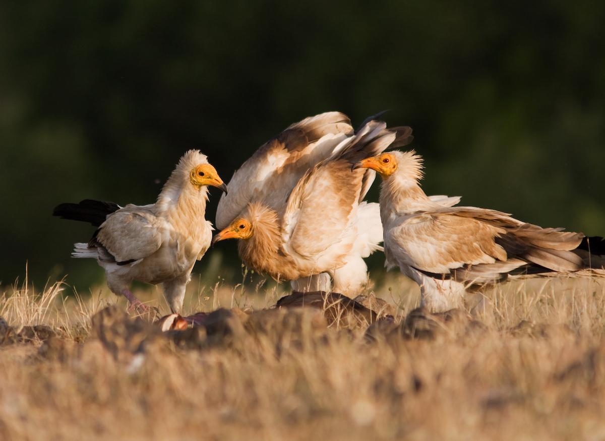 Egyptian vulture_BSPB_Boris Belchev (2)