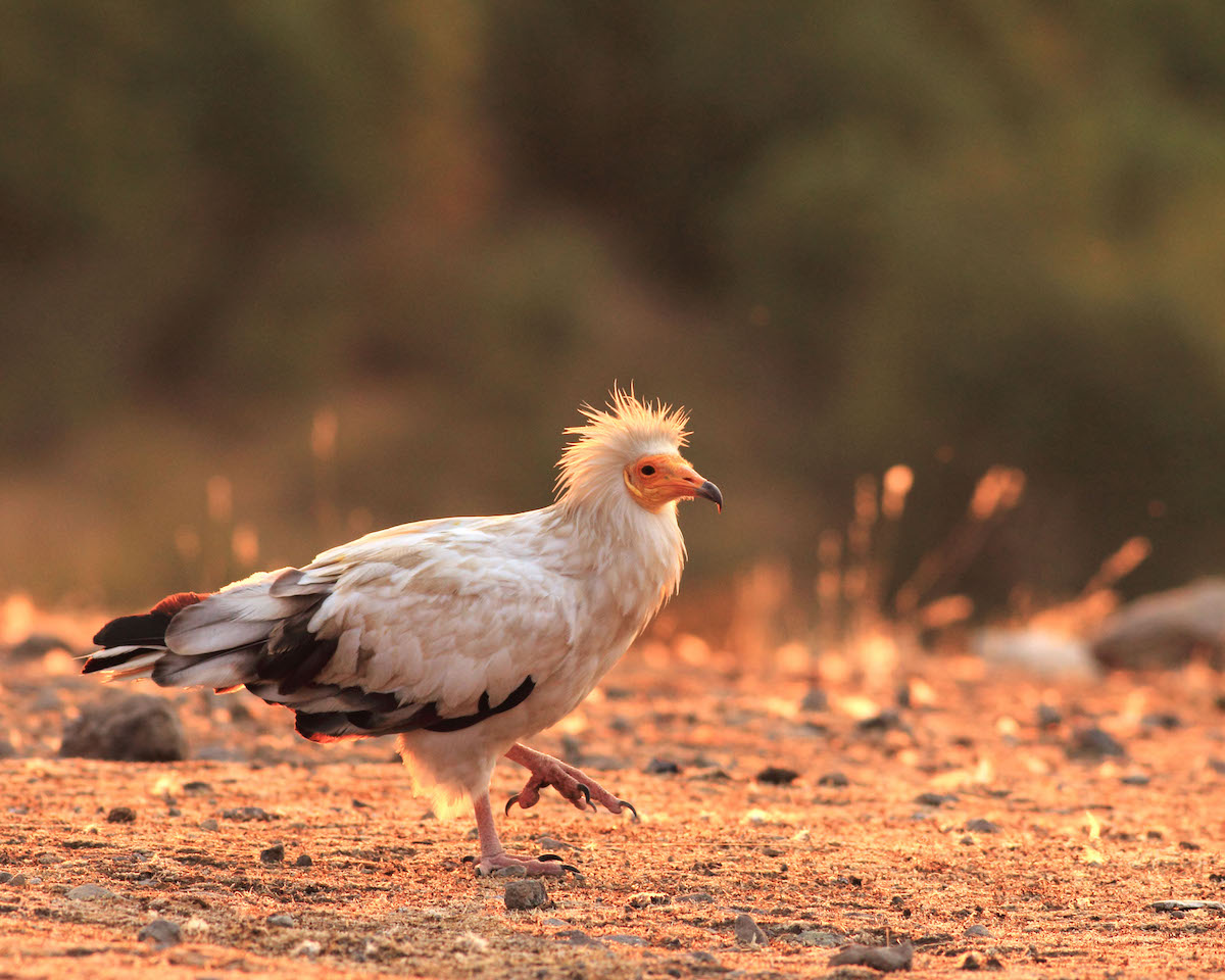 Egyptian vulture_BSPB_Iordan Hristov