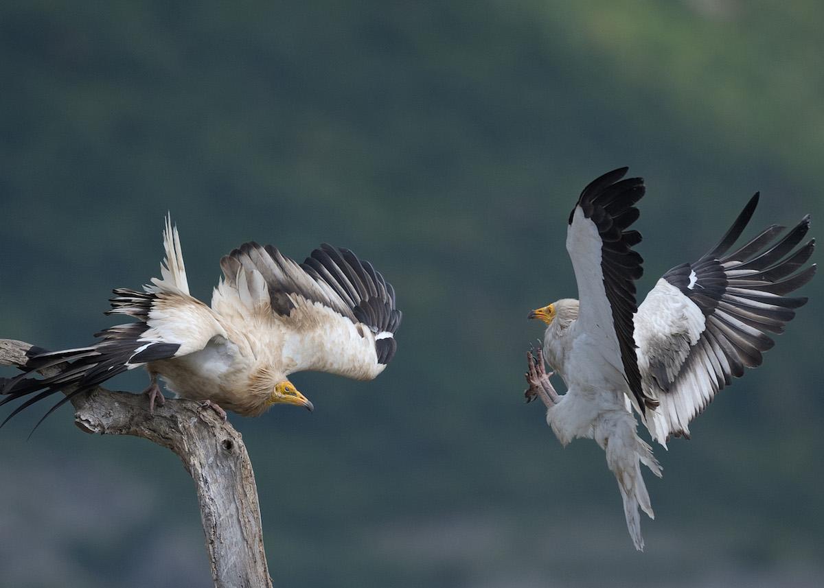 Egyptian vulture_BSPB_Kalin_Botev