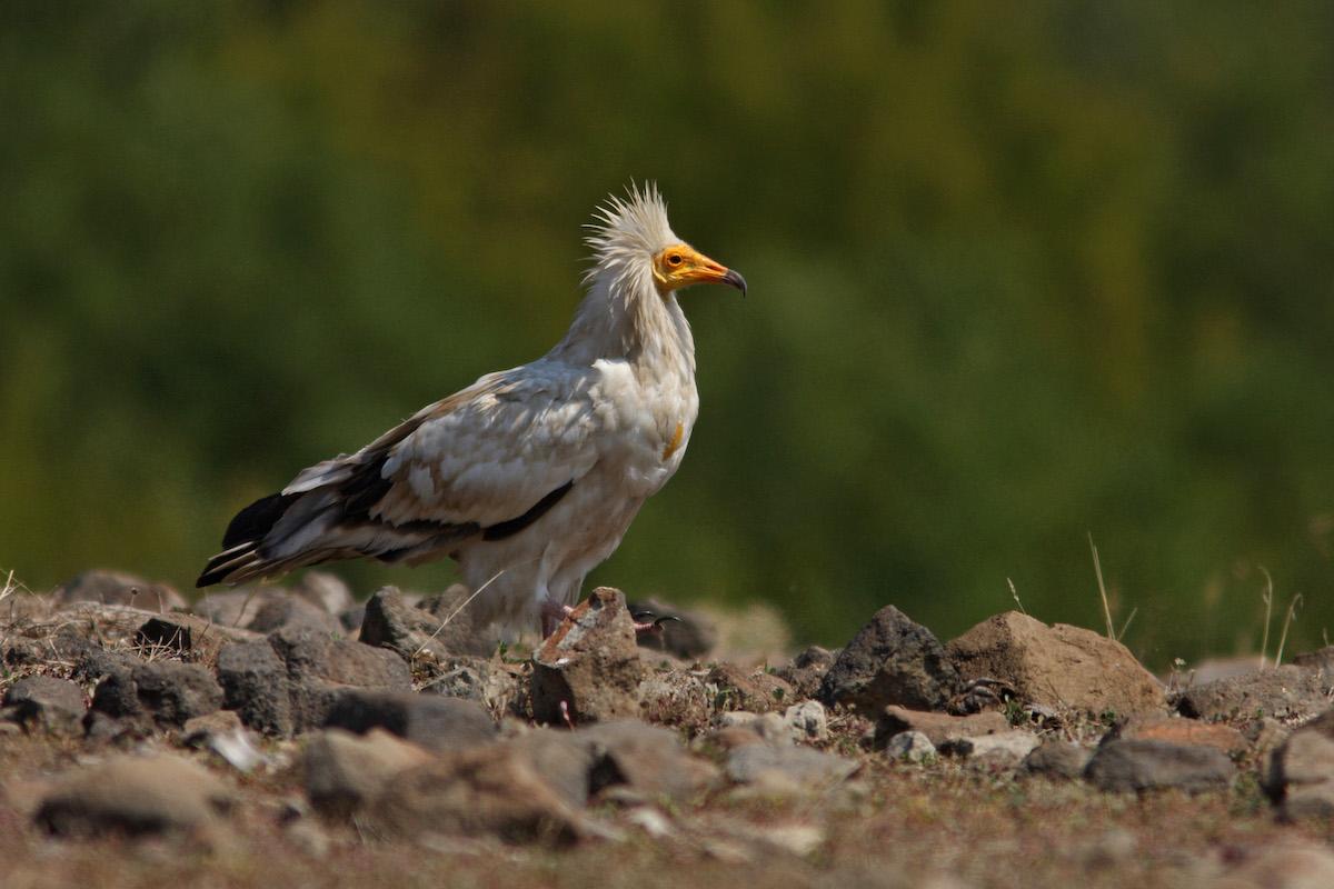 Egyptian vulture_BSPB_Svetoslav Spasov (1)