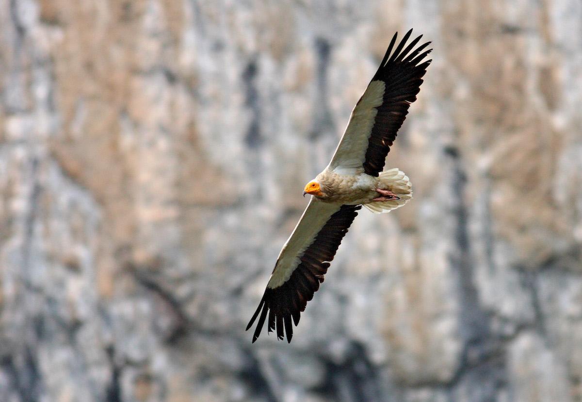 Egyptian vulture_BSPB_Svetoslav Spasov (3)