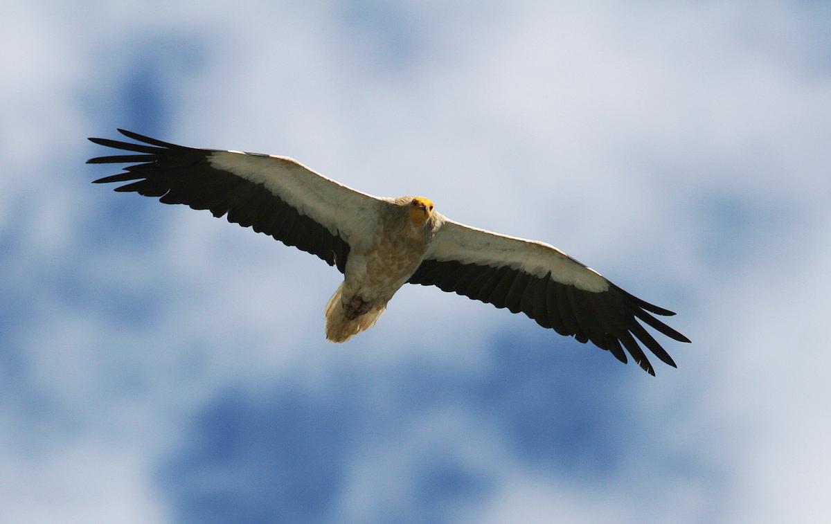 Egyptian vulture_LIPU_Michele Mendi