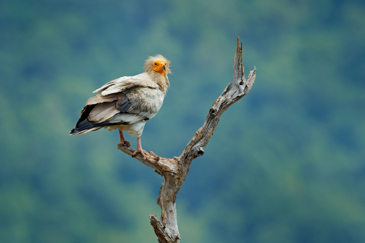 Egyptian vulture, Neophron percnopterus, big bird of prey sitting on branch, green mountain, nature habitat, Madzarovo, Bulgaria, Eastern Rhodopes.  Wild vulture, sitting on tree trunk, forest habitat