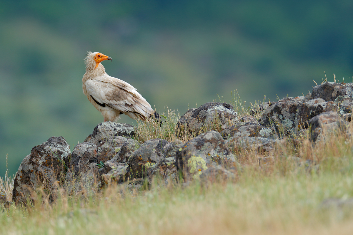 Egyptian vulture_website slider 3 © Birdlife Europe - Flight for Survival