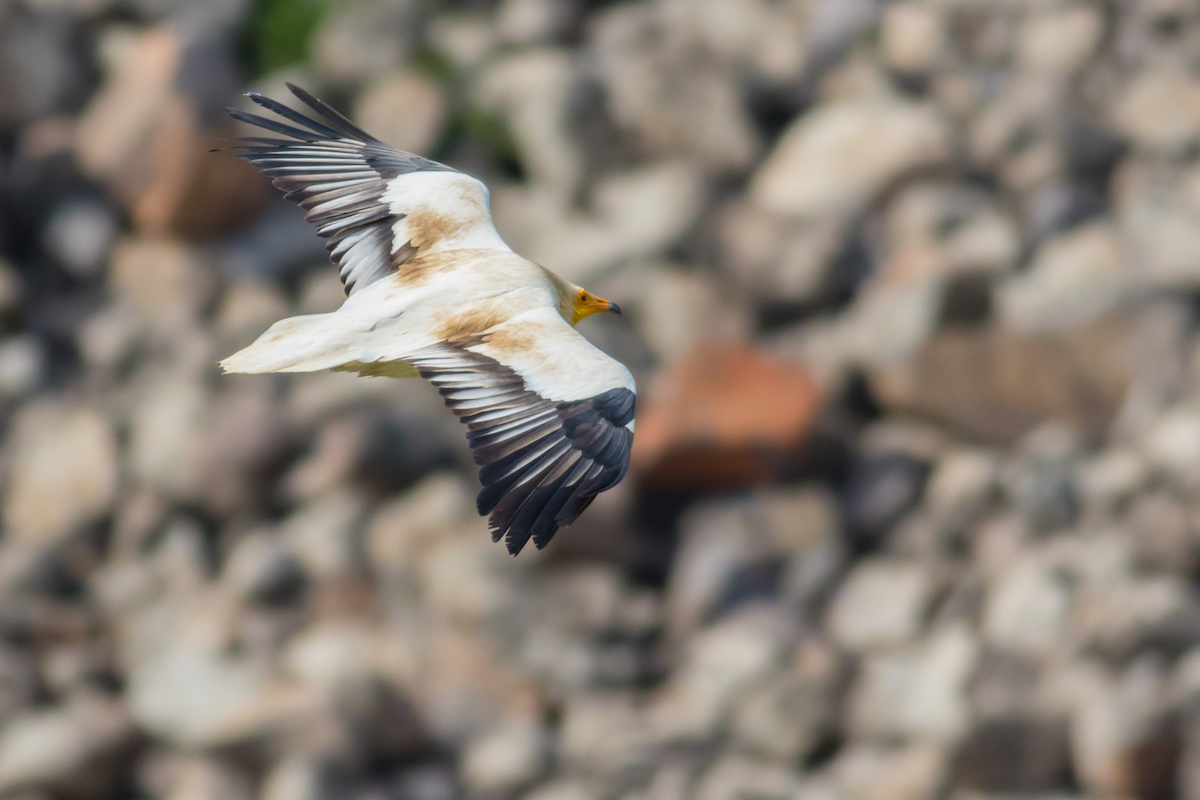 Egyptian_vulture,_israel_BYMinoxig