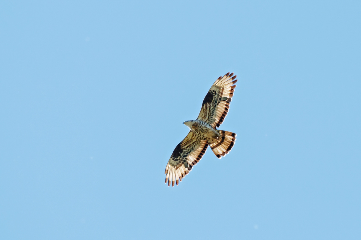 Honey buzzard flying under blue sky. Powerful funny bird of prey in wildlife.