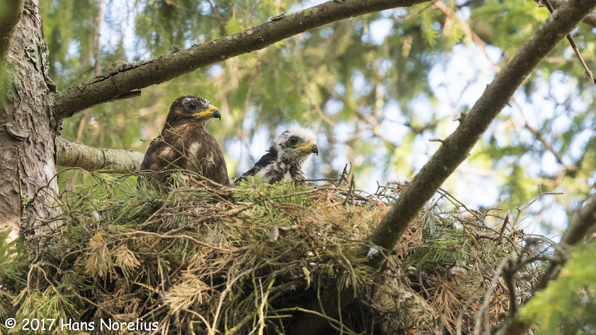 Honeybuzzard_CC BY 2.0_HansNorelius