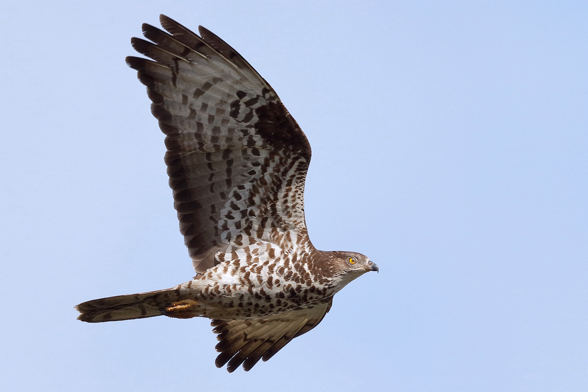Honeybuzzard_CC BY-NC-SA 2.0_RadovanVaclav
