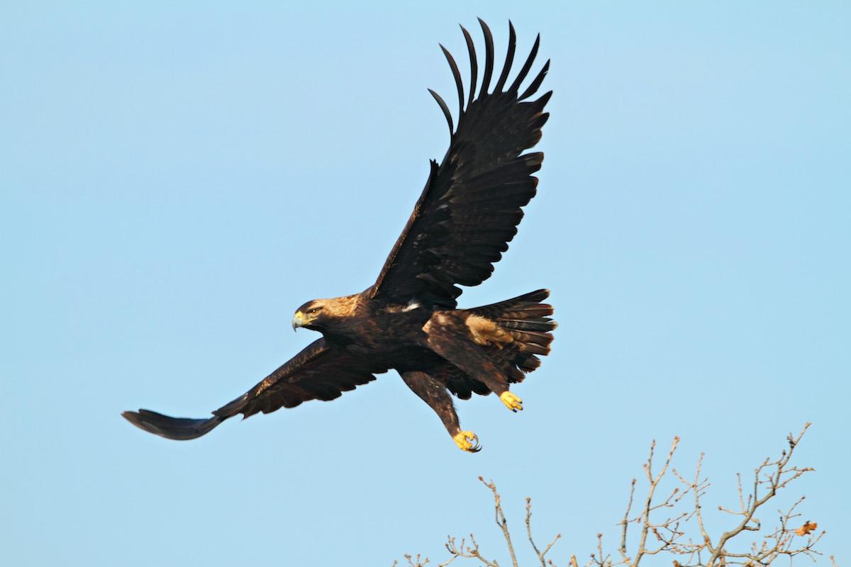 Imperial eagle_BSPB_Svetoslav_Spasov