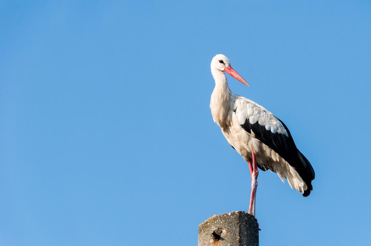 Stork flying. Stork in sky.