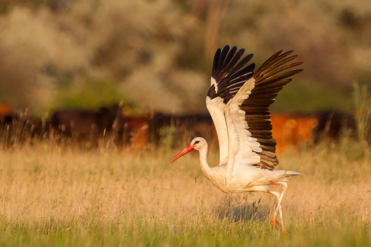 White stork is taking off