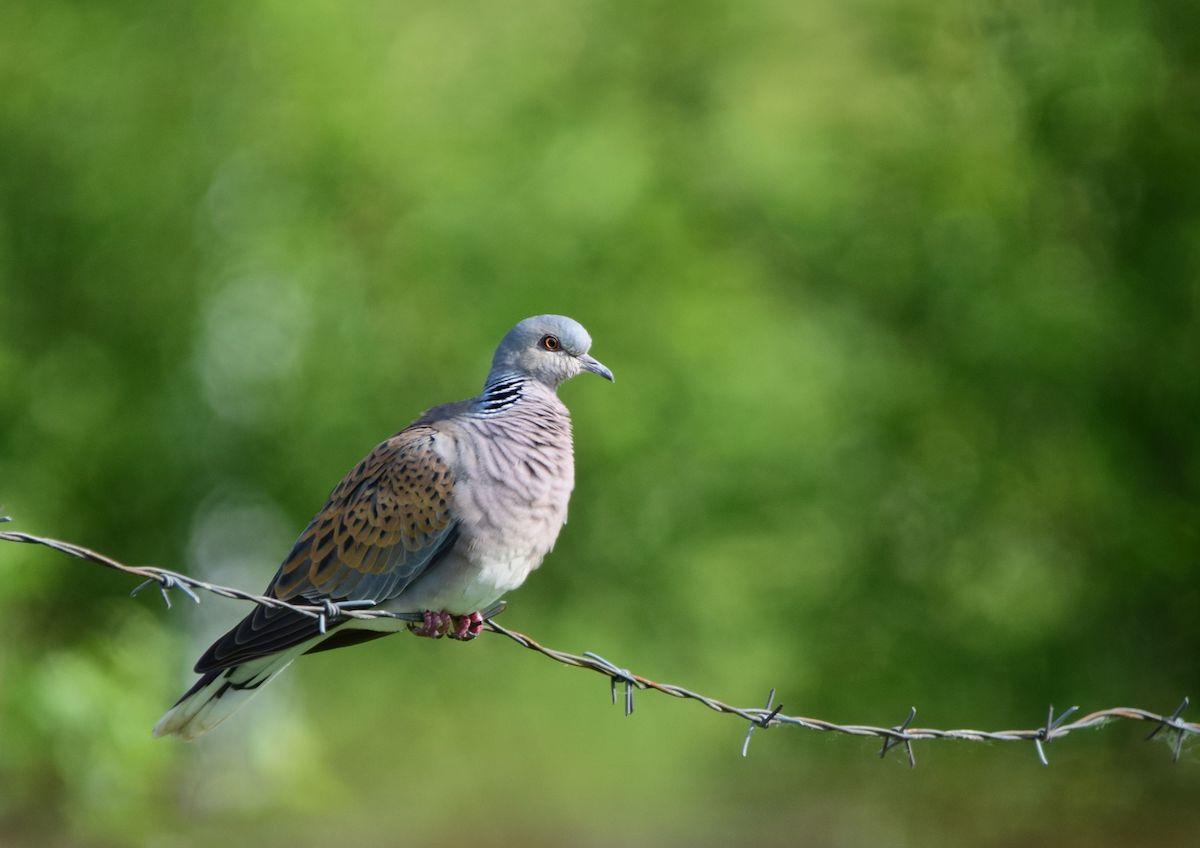 Turtle-dove_BIOM_Biljana Ječmenica (3)