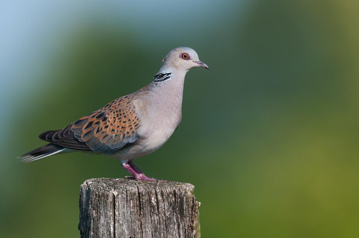 Turtle-dove_BirdLife Europe