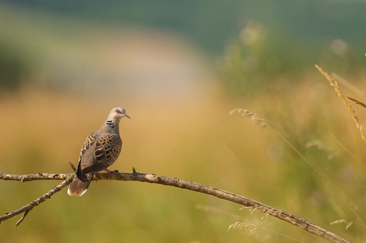 Turtle-dove_CSO_Jiri Hornek (1)
