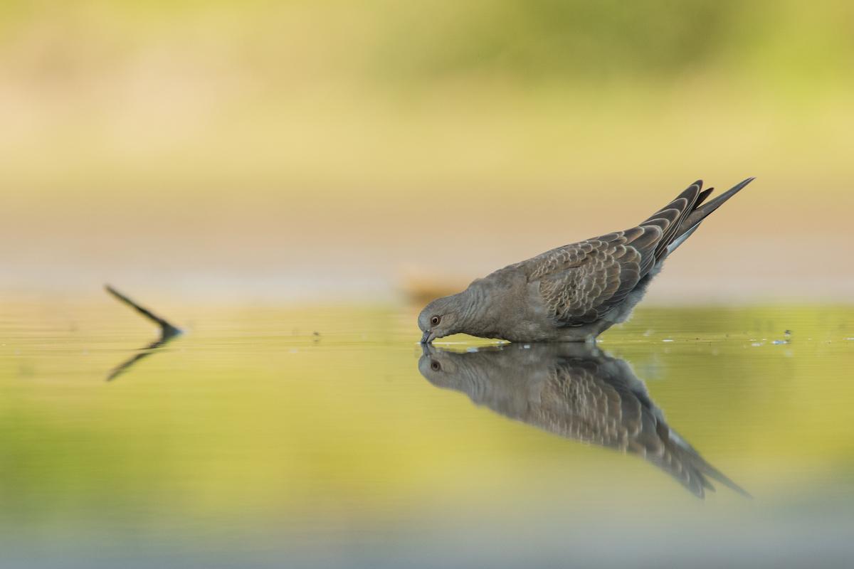 Turtle-dove_CSO_Jiri Vondracek (1)