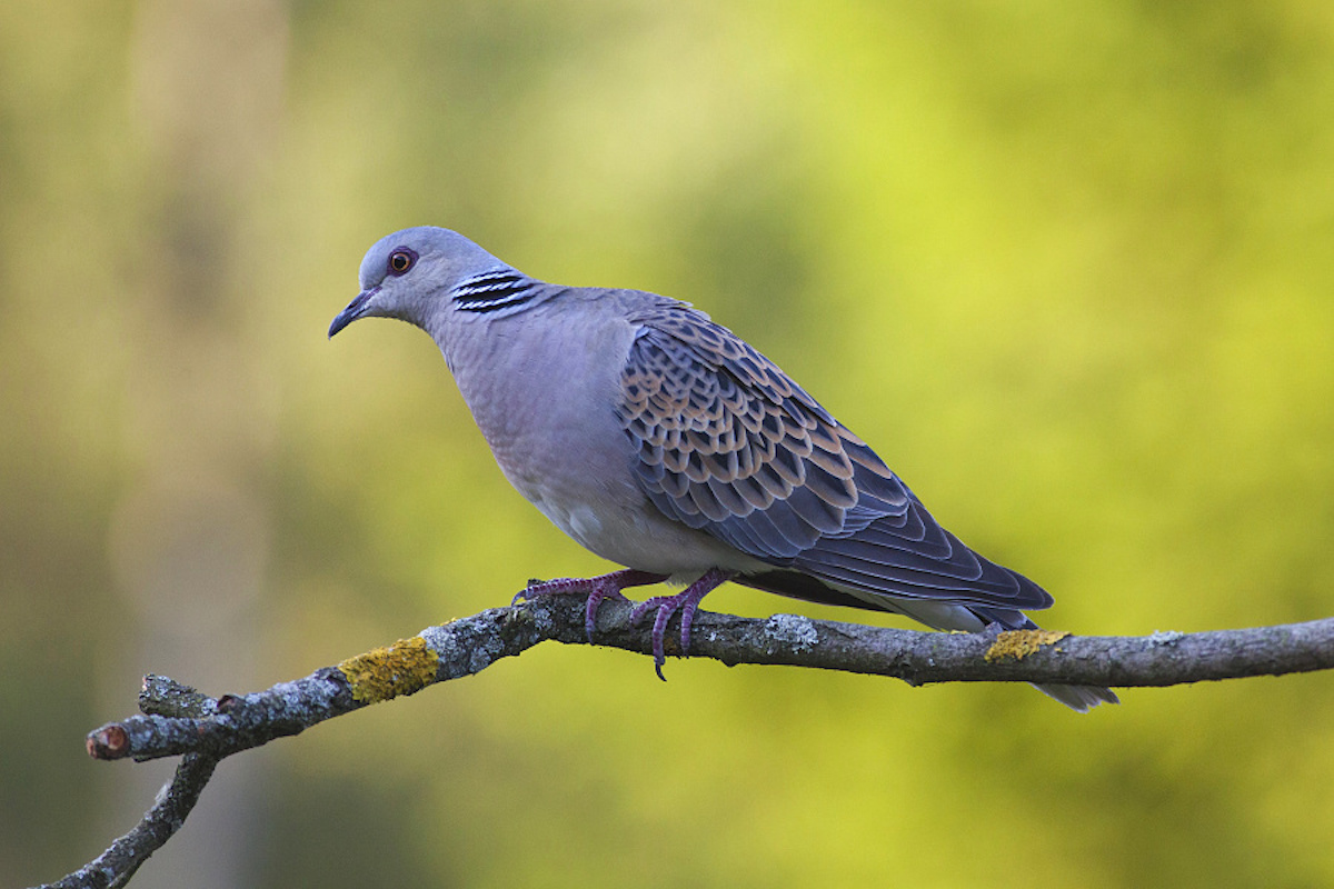 Turtle-dove_CSO_Lukas Kovar (2)