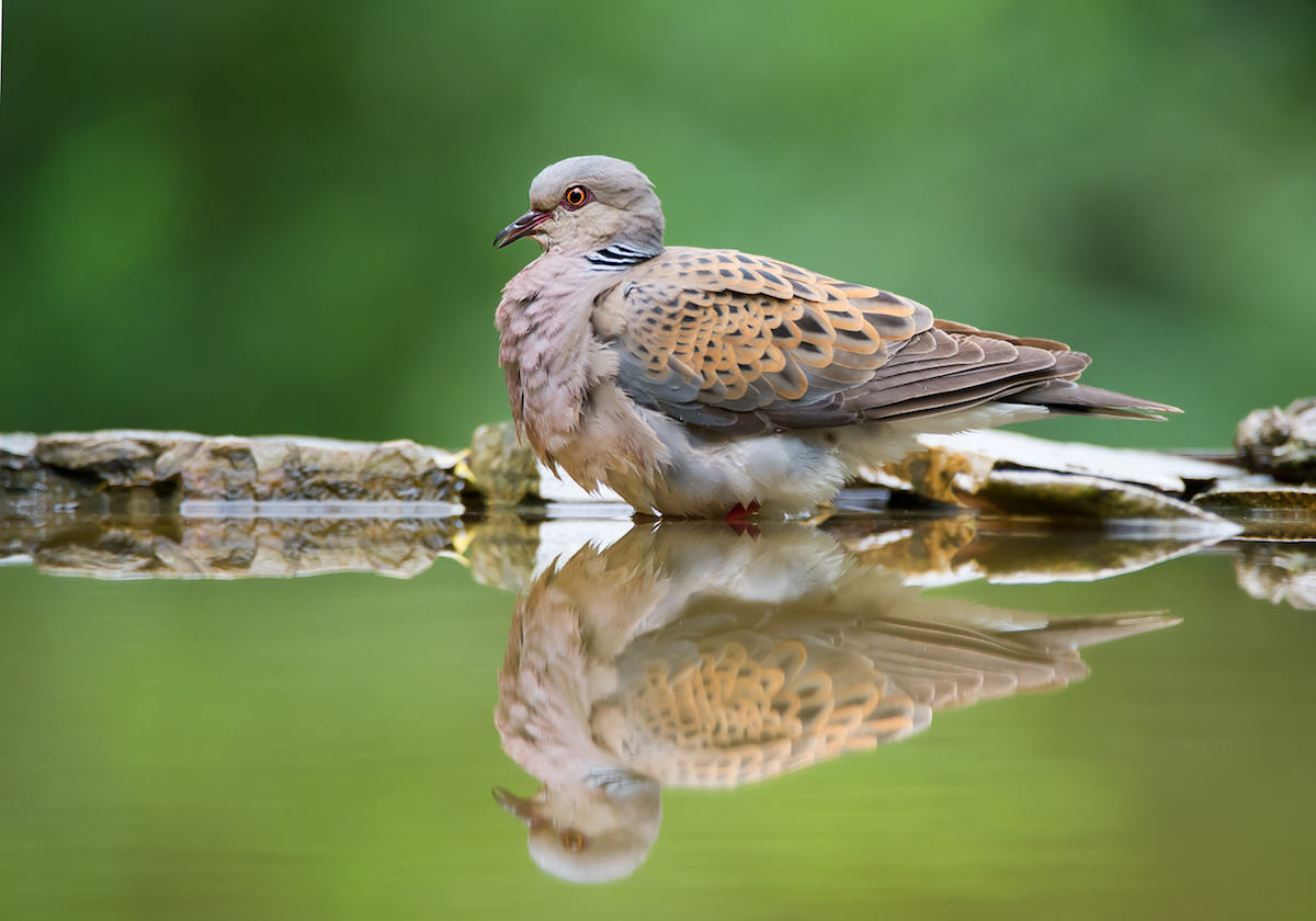 Turtle dove sitting on the rim of drinking pond