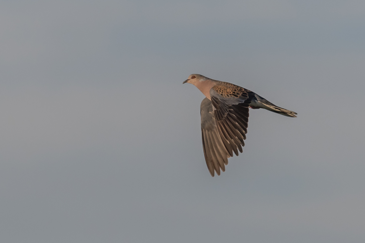 Turtle-dove_website slider 2 © Birdlife Europe - Flight for Survival