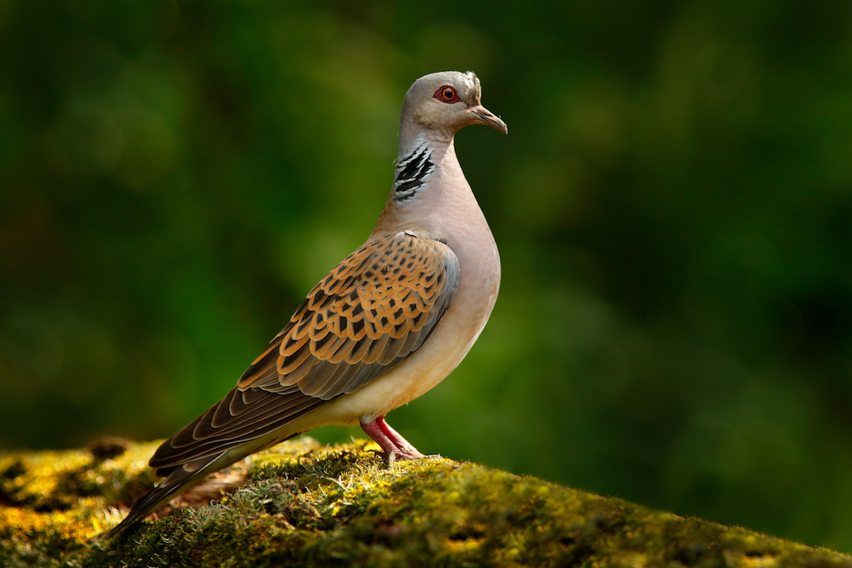 Turtle dove, Streptopelia turtur, Pigeon forest bird in the nature habitat, green background, Germany. Wildlife scene from green forest. Dove in nature wood habitat. Big bird in vegetation.