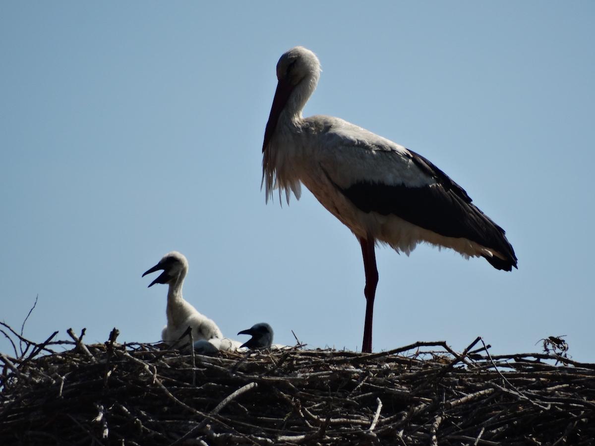 White stork_BIOM_Aleksandra Milicevic (3)