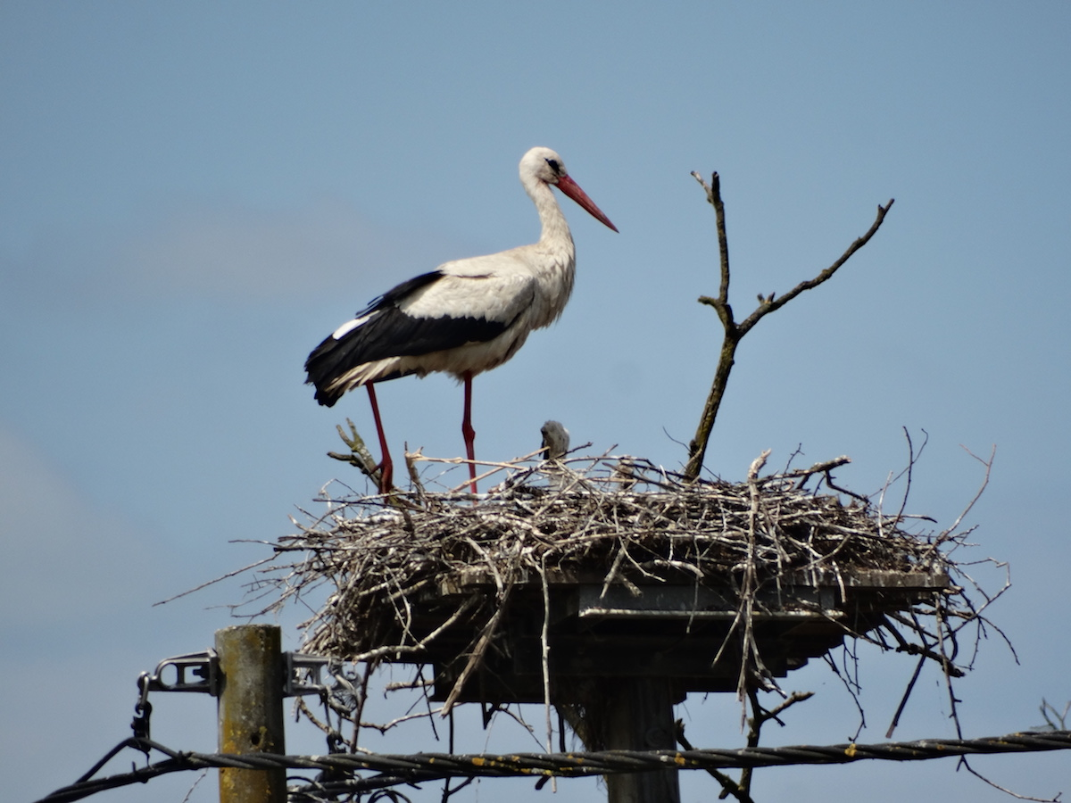 White stork_BIOM_Aleksandra Milicevic (5)