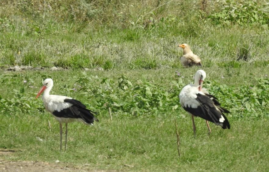 White stork_Egyptian Vulture_BSPB