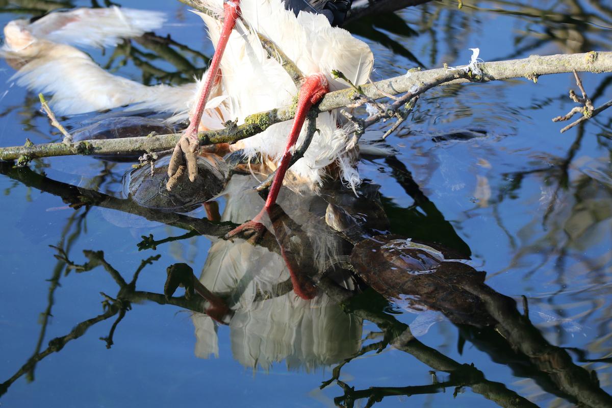 White stork_SPNL_dead_Fouad Itani