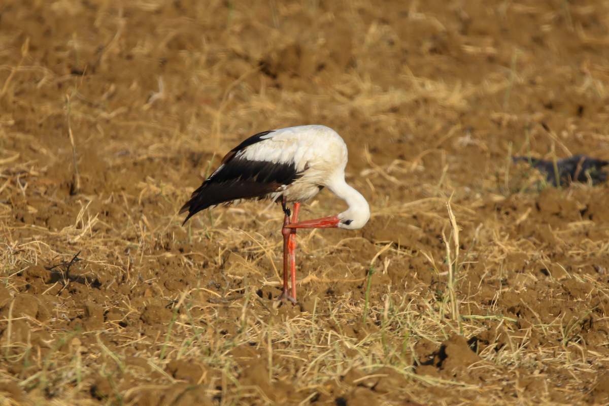 White stork_SPNL_injured_Fouad Itani (1)