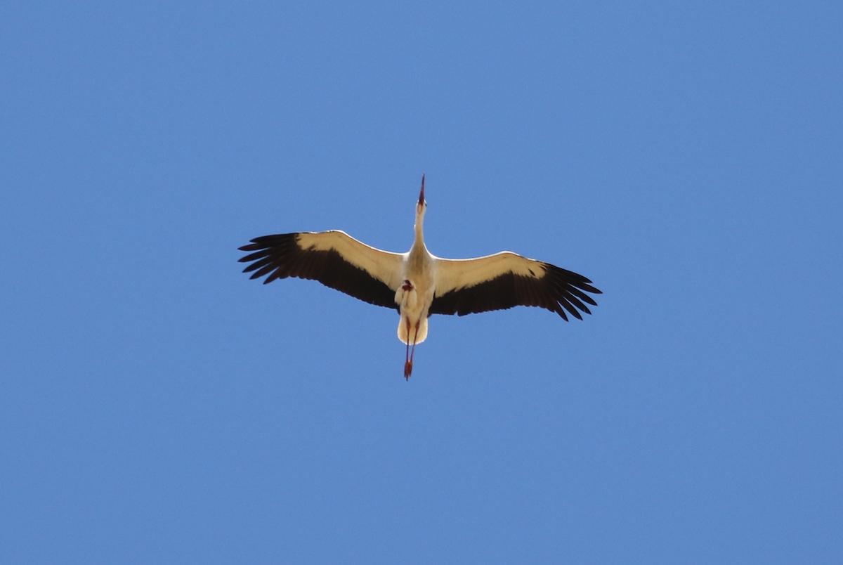 White stork_SPNL_injured_Fouad Itani (2)