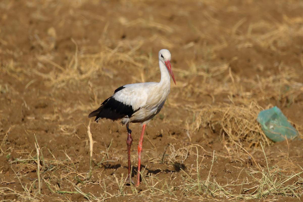 White stork_SPNL_injured_Fouad Itani (3)