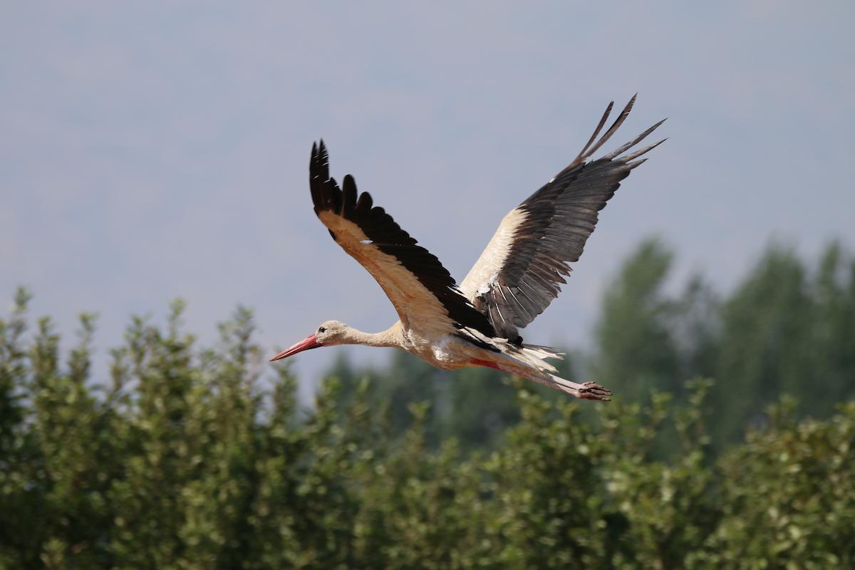 White stork_SPNL_unknown (1)