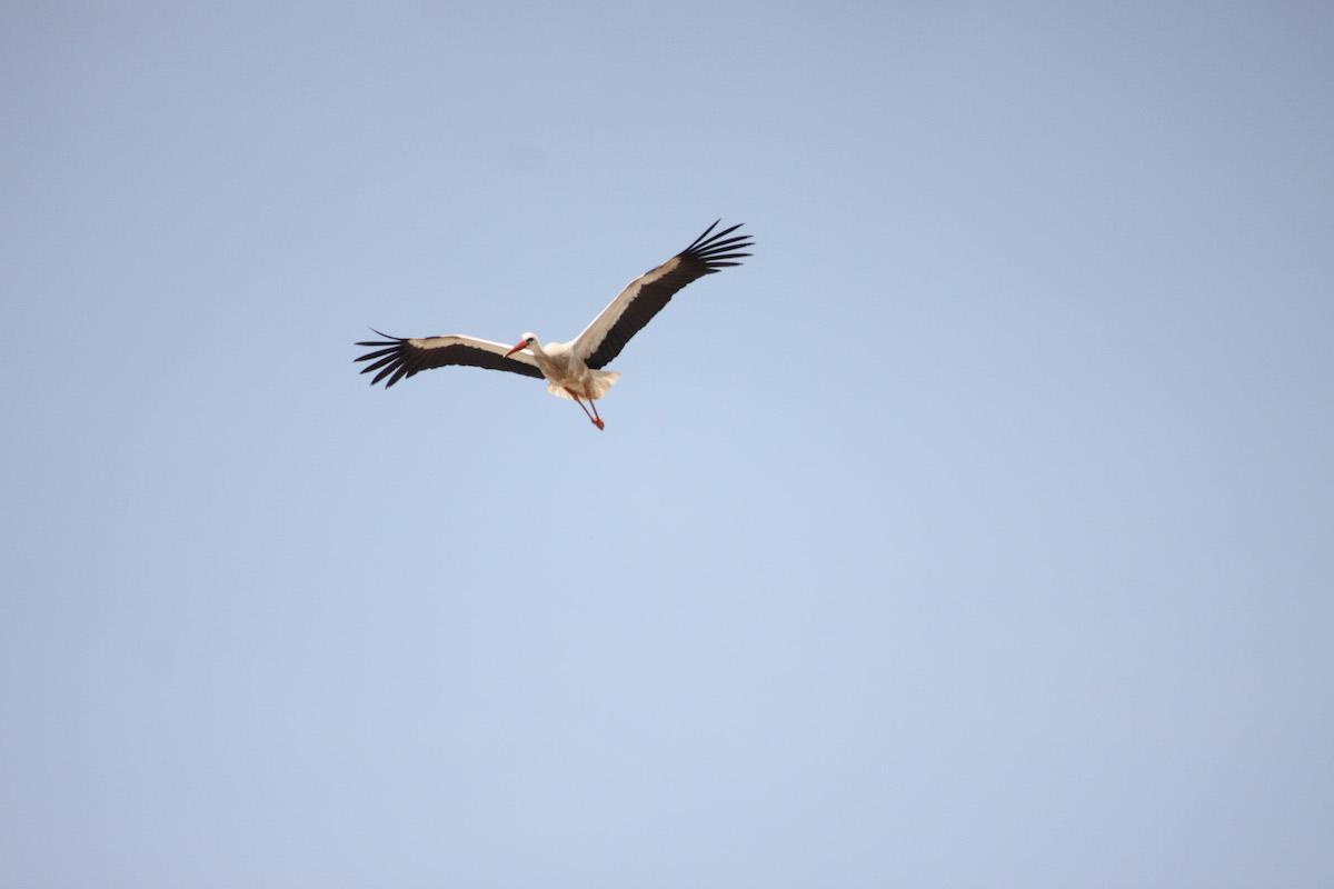 White stork_SPNL_unknown (4)