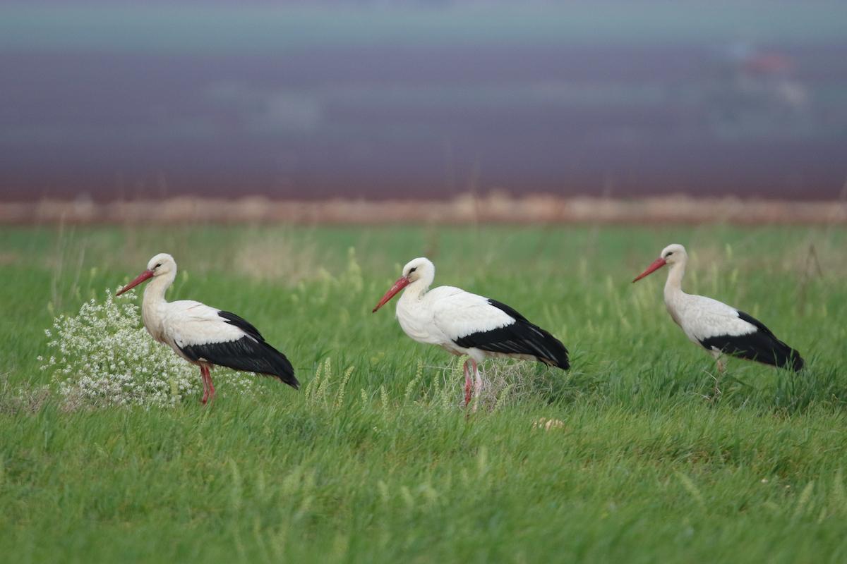White stork_SPNL_unknown (7)
